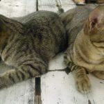 kucing kembar