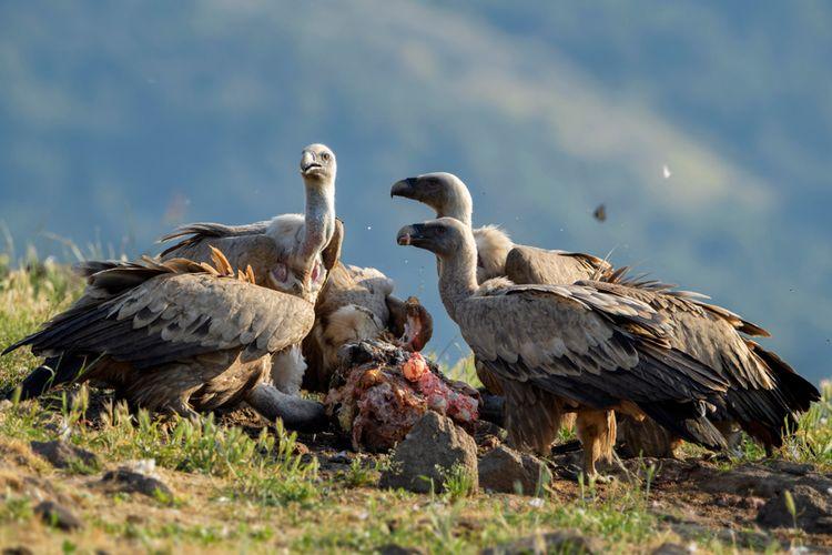 tradisi pemakaman unik burung bangkai